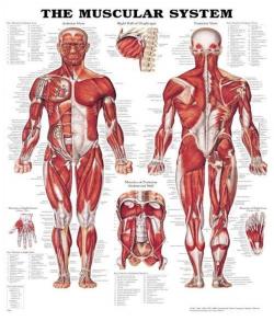 پاورپوینت بررسی سازگاری های عضلانی متعاقب تمرینات ورزشی